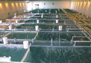 vyrashchivanie-karpa-300x206 Бизнес-идея: Разведение рыбы в подвалах домов